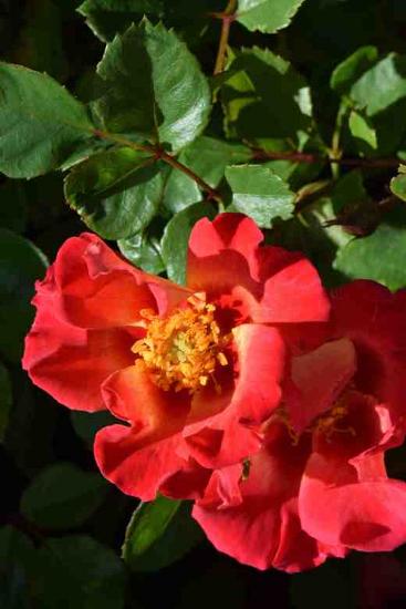 last rose of babylon