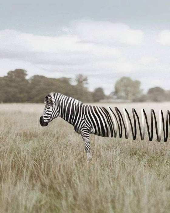 zebra unwinding